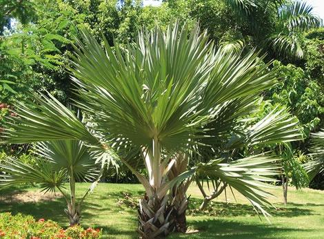 Palma trattamento contro il punteruolo rosso delle palme - Costo palma da giardino ...