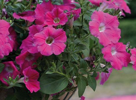 Piante da vaso e da giardino prestobio